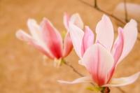 Magnolia spring color Stock photo [2426189] Manglietia