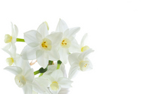 Narcissus flowers Stock photo [2427760] Narcissus