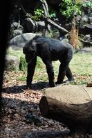 Chimpanzee Stock photo [2428829] Chimpanzee