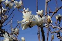 Shiraki lotus flowers and buds Stock photo [2430114] Magnolia