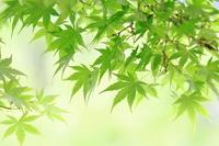 Maple Aoba Stock photo [2437871] Leaf