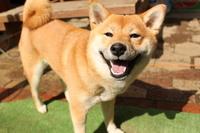 Smile of Shiba Inu Stock photo [2438887] Shiba