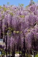 Blooming wisteria Stock photo [2551801] Tourist
