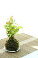 Golden Kazura of moss ball Stock photo [2552372] Moss