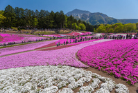 Hill of Hitsujiyama park phlox Stock photo [2554651] Hill