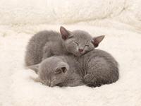 Kitten Russian Blue sleeping so as to overlap Stock photo [2557962] Russian