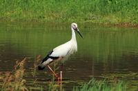 Stork Stock photo [2559541] Stork