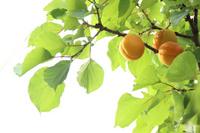 Real and beautiful young leaves of ripe apricot Stock photo [2560023] Apricot