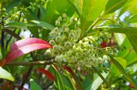 Early summer Holt white flower Stock photo [2658943] Elaeocarpus