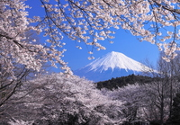 Cherry blossoms and Mt Fuji Stock photo [2661836] Mt.