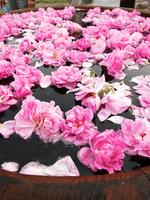 Damask Rose in Rose oil distilled in Bulgaria rose festival Stock photo [2664611] Overseas