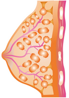 Structure of the breast [2668371] Breast