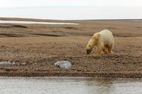 Spitsbergen Polar Bear Stock photo [2668433] Landscape