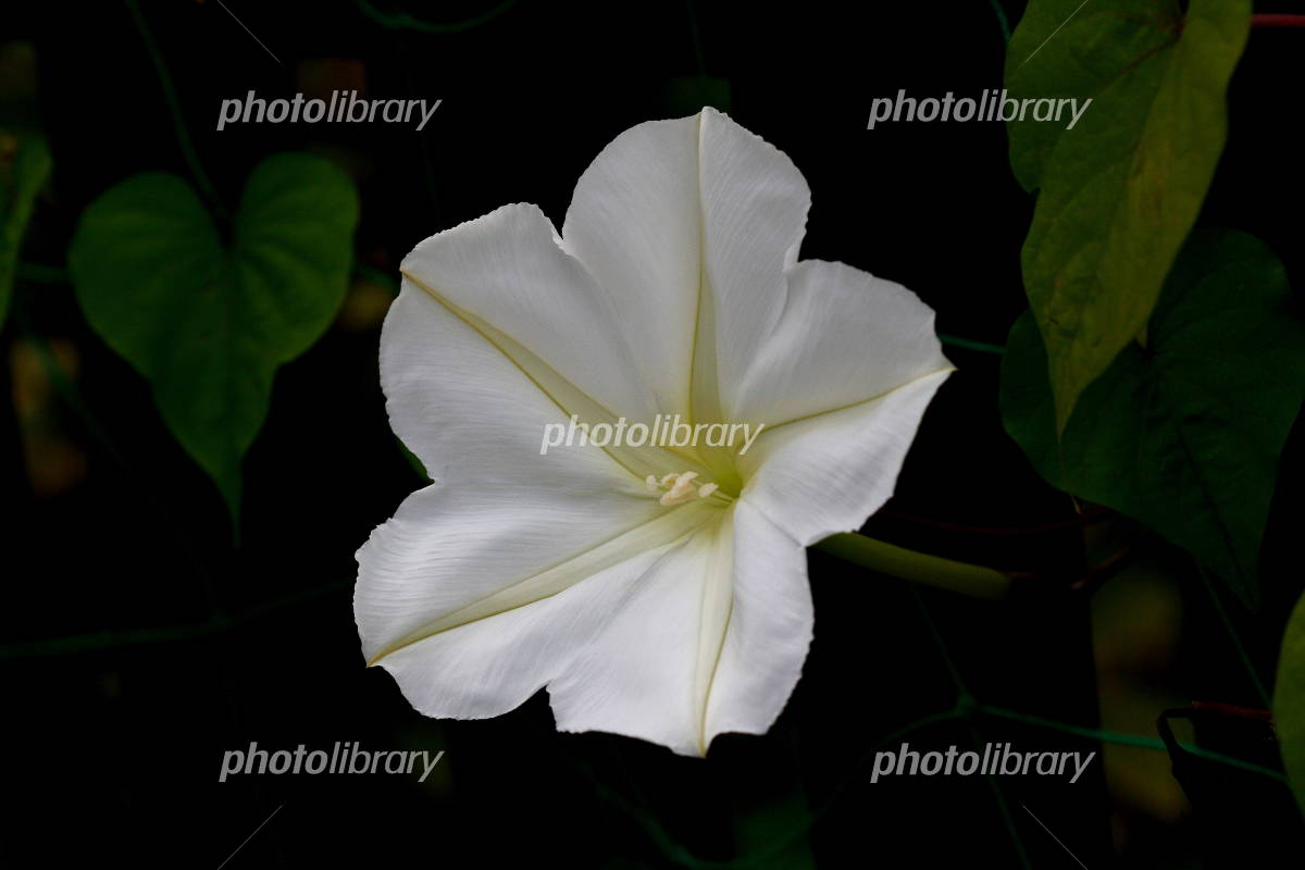 Ipomoea alba Photo