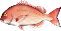 Red snapper [2743546] Red