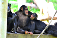 Chimpanzee Stock photo [2743751] Chimpanzee
