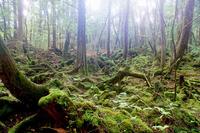 Yamanashi Prefecture Aokigahara Jukai stock photo