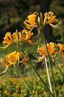 Yellow amaryllis Stock photo [2749865] Shoki