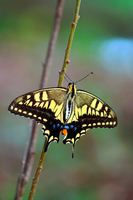 P. machaon Stock photo [2829734] Insect