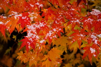 and covered with snow the autumn leaves Stock photo [2838463] Yamagata