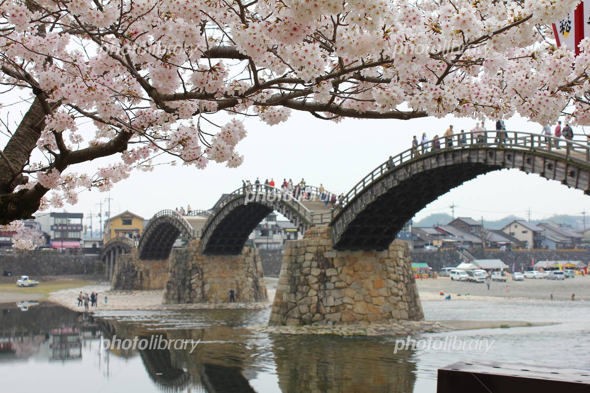 Kintaikyo and cherry blossoms in full bloom Photo