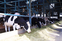 Holstein cows eat the bait in the barn Stock photo [2912663] Cattle