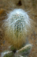 Cactus Oumaru Stock photo [2913870] Succulent