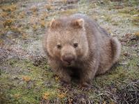 Of wild wombat Tasmania Stock photo [2918955] Wild