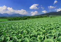 Cabbage field Stock photo [2997670] Tsumagoi