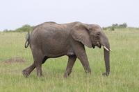African elephants eat grass Stock photo [2998662] African