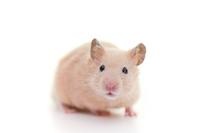 Golden hamster Hamster