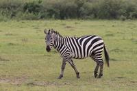 Zebra that bird is riding on the back Stock photo [3001143] Zebra