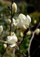 Magnolia Stock photo [3001542] Magnolia