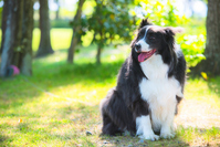 Border Collie Stock photo [3078749] Dogs