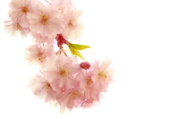 Weeping cherry tree Stock photo [3078984] Weeping