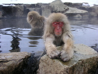 Japanese monkey in hot spring bathing Stock photo [3079905] APE