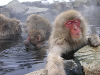 Snow Monkey in bathing Stock photo [3082528] Snow