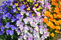 Spring full bloom Pansy full bloom Stock photo [3084493] Pansy