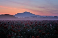 Dawn of the poppy field Stock photo [3173548] Kokai
