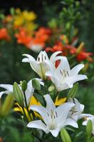 White lily Stock photo [3175911] Yuri