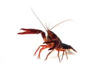 America crayfish white back Stock photo [3176514] White