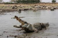 African crocodile Stock photo [3178519] Africa