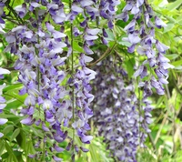Wisteria Stock photo [3178766] The