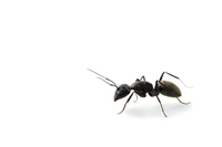 Camponotus japonicus Mayr Stock photo [3180869] Ali