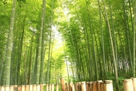 Bamboo forest Stock photo [3289265] Bamboo