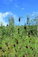 Burnet bloom Plateau Stock photo [3291464] Sanguisorba