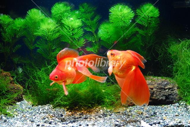 d248716059 金魚 写真素材 フォトライブラリー photolibrary jpg 640x428 切り絵 フリー 素材 琉金 金魚 絵