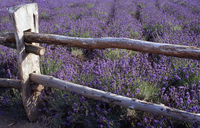 Fields of lavender Stock photo [100004] Lavender