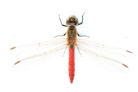 Systemic up white back of the red dragonfly stock photo