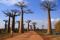 Baobab tree-lined Stock photo [3375746] Baobab